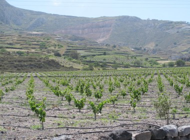 A vineyard on Santorini